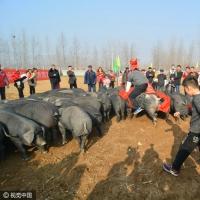 山东日照农民自费3万办黑猪运动会 妙趣横生引数百人围观