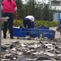 香港无名顶楼竟晒满鱼翅 鲨鱼活生生被割去鱼翅后痛苦死亡
