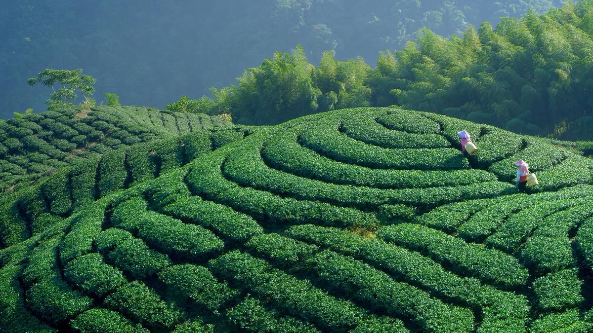 《美力台湾3D》利用3D镜头记录台湾美丽的陆上风景,图为八卦山茶园。(牵猴子提供)